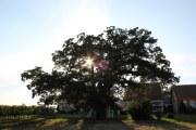 Dub (Oak)